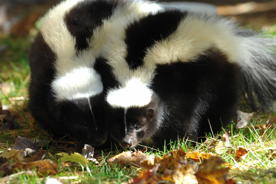 Skunks are just some of the amazing creatures at the Shubenacadie Wildlife Park.