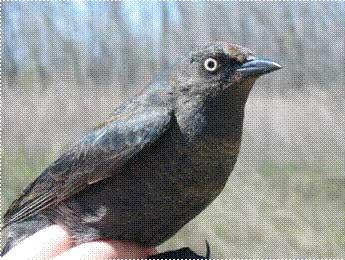 Rusty Blackbird ( Euphagus carolinus ) - Endangered (2013)