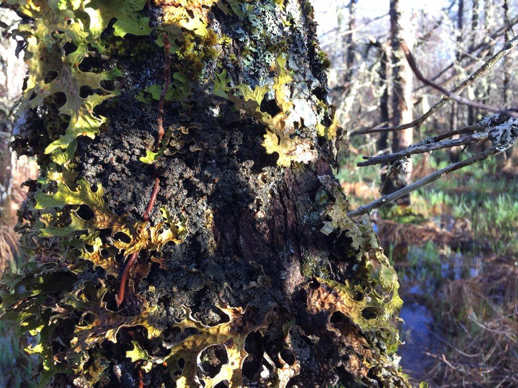 Wrinkled Shingle Lichen