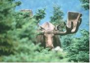 Moose (Mainland Population)