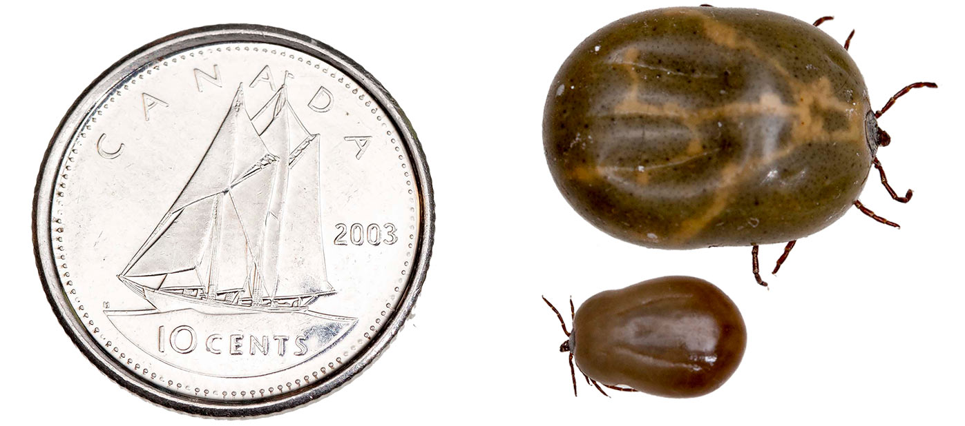 Two kinds of ticks engorged with blood shown next to a dime for scale